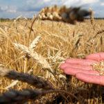 Зерно сонник